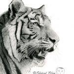 Graphite portrait of a tiger