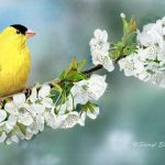 Goldfinch on Cherry Blossom